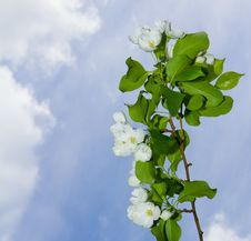 Free A Branch Of Apple Blossoms Stock Photo - 24597140