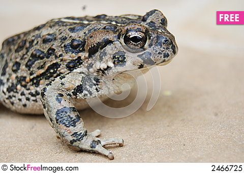 Free Toad Up Close Royalty Free Stock Photo - 2466725