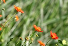 Free Scarlet Avens Stock Photography - 2460482