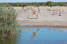 Free Giraffe With Reflection In Poo Stock Photos - 2460523