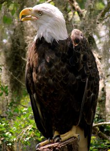 Bald Eagle In A Forest Stock Image