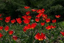 Free Tulips Stock Photos - 2464053