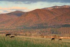 Deer In The Field Royalty Free Stock Image