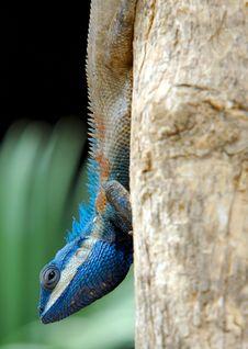 Blue Lizard Stock Photos