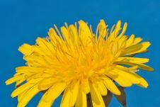 Free Dandelion Macro Stock Image - 2465461