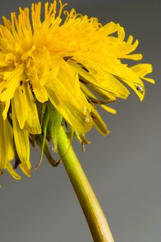 Free Dandelion On Gray Background Royalty Free Stock Images - 2465489