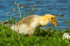 Free Cute Duckling Royalty Free Stock Photos - 2465598