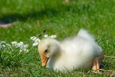 Free Cute Duckling Royalty Free Stock Photography - 2465607