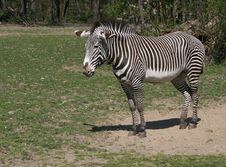 Free Zebra Royalty Free Stock Photo - 2466785