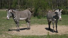 Free Zebras Royalty Free Stock Image - 2466866