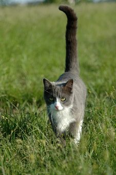 Free Grey And White Cat Walking Royalty Free Stock Photos - 2468758