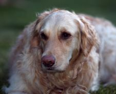 Free Golden Retriever Stock Photography - 2469482