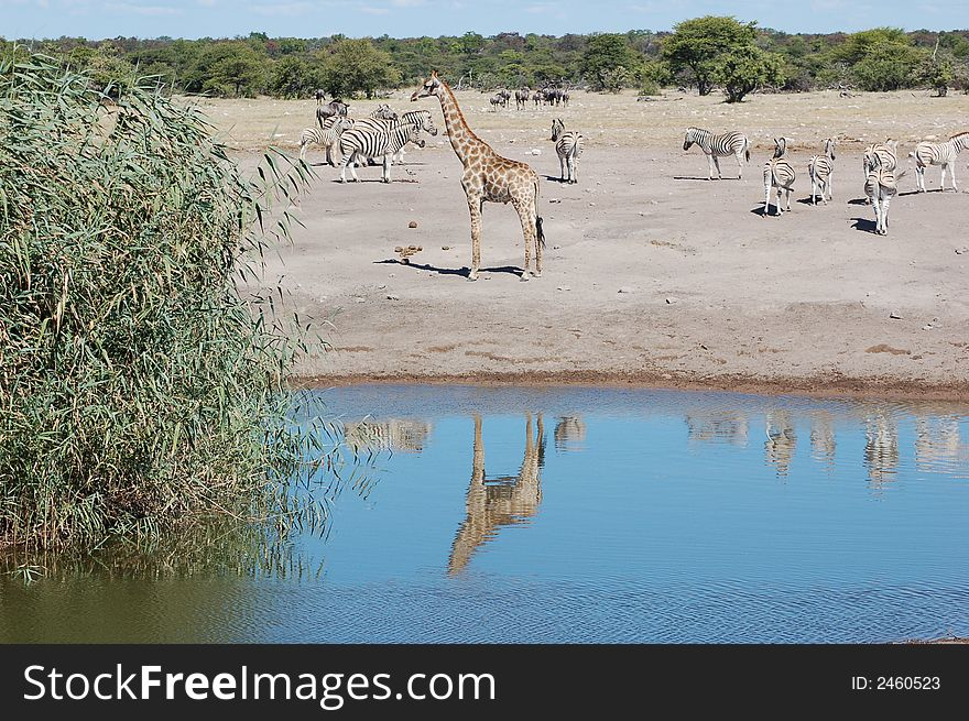 Giraffe with reflection in poo