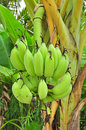 Free Banana On Tree Stock Image - 24601991