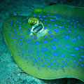Free Blue Spotted Sting Ray Stock Images - 24606334