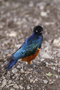Free Superb Starling II Royalty Free Stock Images - 24607919
