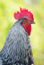 Free Portrait  Rooster Stock Images - 24609144