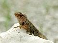 Free Agama Lizard Stock Image - 24609841