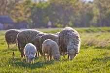 Free Sheep Royalty Free Stock Photos - 24602378