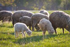 Free Sheep Royalty Free Stock Photos - 24602458