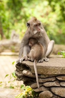 Free Long-tailed Macaques Stock Image - 24603661