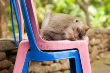 Free Sleeping Monkey Royalty Free Stock Photo - 24603675