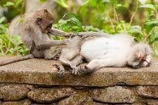 Macaques Mutual Help Royalty Free Stock Image