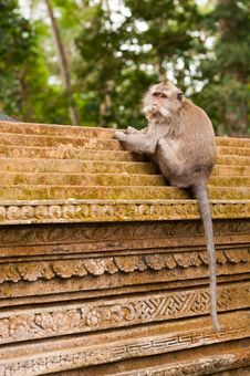 Free Macaque On The Wall In Ubud Stock Photography - 24603692
