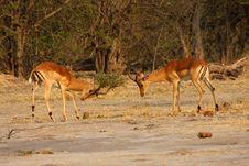 Free Fighting Impala. Stock Photos - 24606973