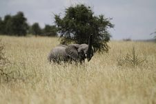 Free Savanna Elephant II Royalty Free Stock Photography - 24607787