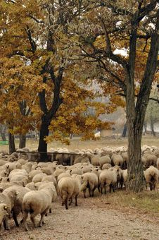 Free Herd Of Sheep Gathering Royalty Free Stock Photos - 24608738