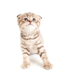 Free Scottish Fold Brown Tabby Kitten Front View Royalty Free Stock Photo - 24609515