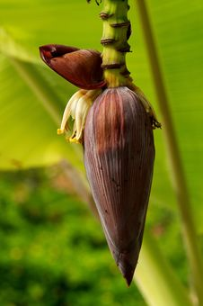Free Banana Flower Stock Photos - 24609773