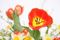 Free Spring Tulip Royalty Free Stock Images - 24611059