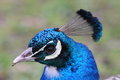 Free Peacock Portrait Royalty Free Stock Photography - 24614097
