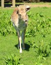 Free Young Deer Stock Photography - 24619512
