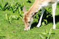 Free Young Deer Stock Images - 24619874