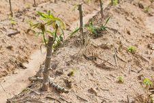 Cassava Sapling Royalty Free Stock Photos