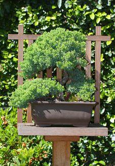 Free Bonsai Royalty Free Stock Photo - 24610295