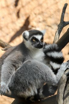Free Lemur Stock Photos - 24610963