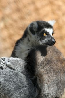Free Lemur Stock Photo - 24611010