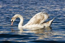 Free Swan On The River Royalty Free Stock Image - 24612656