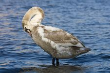 Free Swan Stock Photography - 24612722