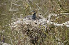 Cormorant On His Nest Stock Photo