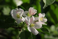 Free Flowering Apple-tree In Spring Stock Photography - 24613262