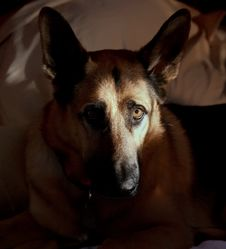 Free German Shepherd S Face Half Lit Stock Image - 24614901