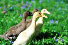 Free Yellow & Brown Ducklings In A Purple Flower Field Stock Images - 24616114