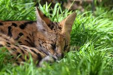 Free Serval Stock Image - 24616151