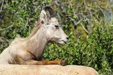 Free Mountain Sheep Royalty Free Stock Photography - 24616167
