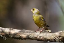 Free Greenfinch On Branch Stock Images - 24617404